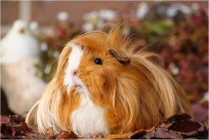 Saar one of my 3 guineapig's by Cupcake82