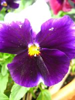 Pansy 1 by sugawinkle