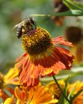 Bee and flower 2 by Anny78