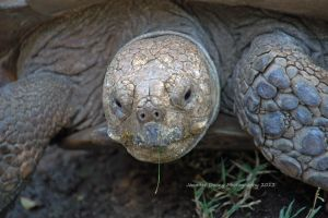 Sulcata Close-up by MorrighanGW