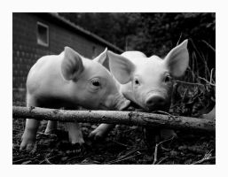pigs by sjonneponne