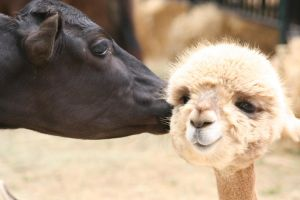 Cow Kisses Alpaca by I-Heart-Photos