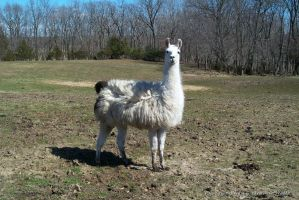 Durty Llama by VisibleBeauty