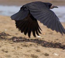 crow flying stk 6 by LubelleCreativeSpark