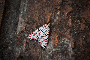 Speckled Moth by ItBazooka