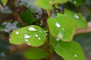 raindrops on leaves by 24QueenGirl