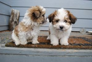 Shih-Tzu Puppies 8 by xxtgxxstock