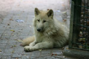 Canadian Wolf IV by Tribolonotus