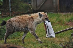 Mummy Hyena by LeahPardoe