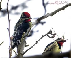Yellow-bellied Sapsuckers by Gooiool