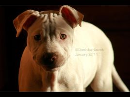 Pitbull Puppy by Goodbye-kitty975