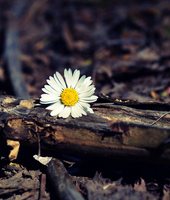 Daisy in forest. by MateuszPisarski