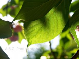 Spring Leaf 2 by ASCPhotos