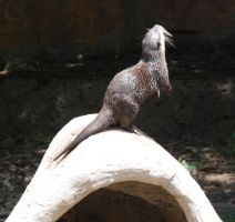 Aonyx cinerea : Asian small-clawed otter 07 by lumibear
