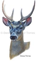 Withe Tailed Deer by torreoso