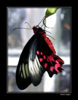 Birdwing Butterfly by David-A-Wagner