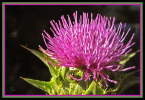 For the love of Milk Thistle by TeaPhotography