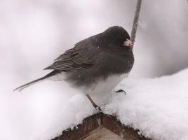 Dark-Eyed Junco by dove-51