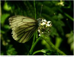 Green Veined Butterfly by In-the-picture