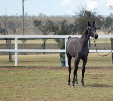 GE Arab filly grey stand front on by Chunga-Stock