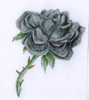 black rose by SiNrott