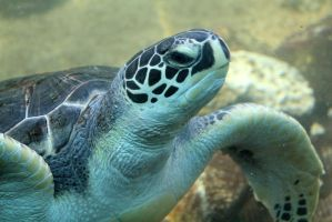 Sea Turtle by firenze-design