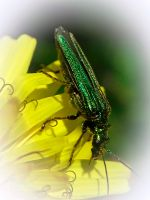 Oedemera Nobilis 5 by iriscup