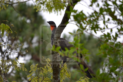 Spotted: Dusky-legged Guan by Office-Space