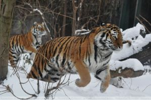 Siberian Tiger (017) - Dashing through the snow by Sikaris