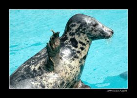 Grey seal by grugster
