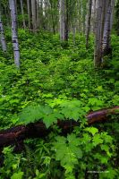 Aspens, Green, White Flowers by TRBPhotographyLLC