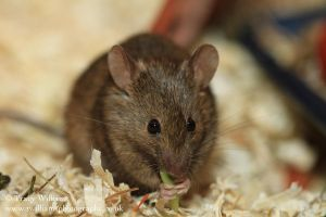 House Mouse Eating by twilliamsphotography