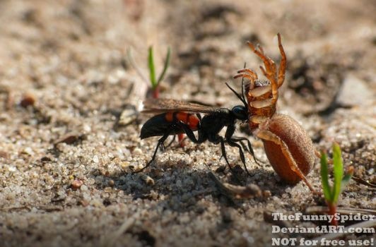 Black banded Spider Wasp with prey by TheFunnySpider