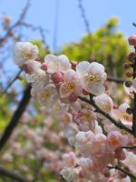 Plum Blossoms closeup by aimeekitty