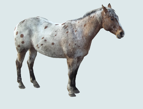 Appaloosa Horse Pre Cut by HorsePrecuts