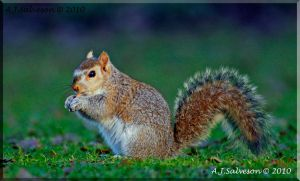 Young Squirrel by andy-j-s