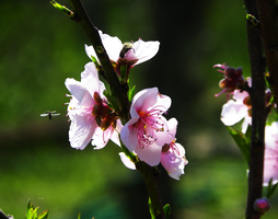 Peach Blossom by Toulouse-and-Co