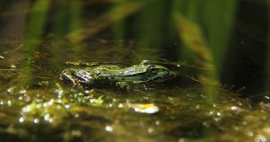 Frog and Reflections by laracoa