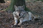 Europaeischer Grauwolf  /  European Graywolf 20 by bluesgrass
