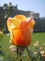 Orange-Yellow Rose by SimoneStefani