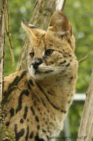 Leptailurus serval by Nathanael91