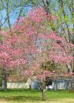 Dogwood full bloom by snaphappy101