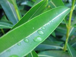 Water Drops on Leaves by the4ce