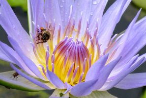 Waterlily and Bee by Rachabelle