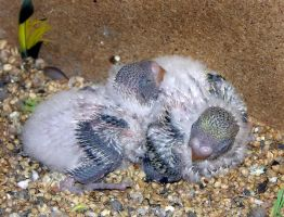 Budgie Babies by riviera2008