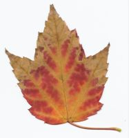 red and yellow maple leaf by tash11-stock
