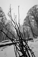 Burned and Snowy Trees No.4 by fazz1977