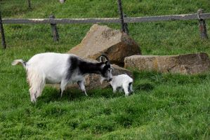 Goat with newborn kid 5 by Kvaale