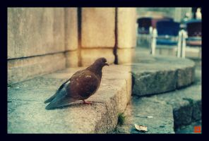 Pigeon. by sourSoul