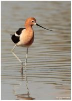 Avocet by PeterJCoskun